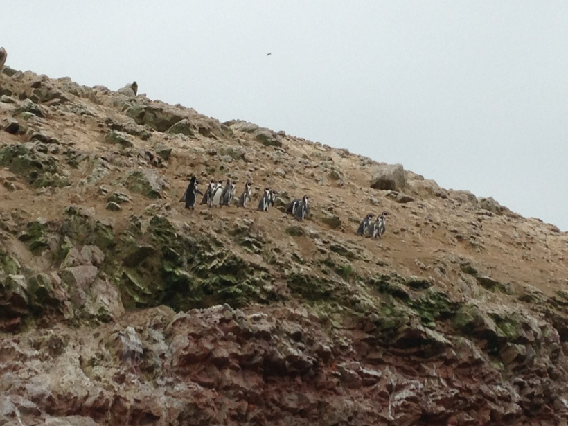 The little Humboldt penguins having a meeting